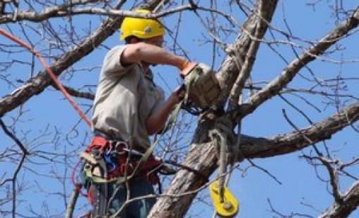 Проведение омолаживающей обрезки деревьев