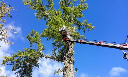 Для чего кронируются деревья?